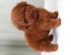 很红很多泰迪幼犬 三个月各色泰迪都有 可上门选购周末活动