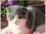 英国短毛猫蓝猫 苏格兰折耳宠物猫幼猫活体
