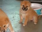 家养一窝纯种柴犬可以签协议 来家里看狗父母
