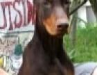 纯种杜宾犬配种
