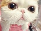 出售家养加菲猫 异国短毛猫