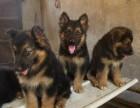 重庆家养一窝纯种德国牧羊犬出售锤是警犬之后,可送货