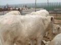 山西小牛价钱较低
