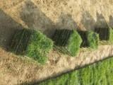 本人种子各种草皮,有台湾草,兰引三号,卷草