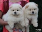 重庆出售松狮犬重庆卖纯种松狮犬重庆松狮价格