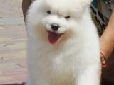 海口萨摩耶价格 海口萨摩耶犬舍 萨摩耶怎么卖的 萨摩照片