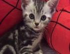 美短猫猫找新家(价格便宜)