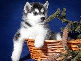 基地出售纯种西伯利亚哈士奇幼犬 品相 健康质保