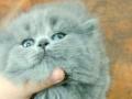 英短小猫咪英国短毛猫