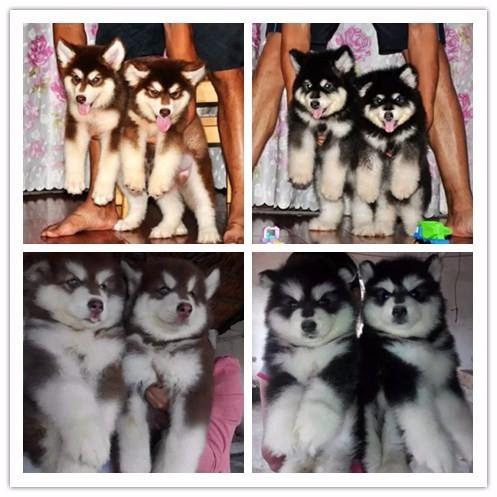 南昌千羽犬舍出售巴哥幼犬 南昌哪里可以买到巴哥 巴哥多少钱