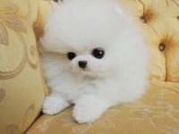 出售博美幼犬哈多利版球体纯种健康 欢迎挑选