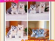 自家犬舍繁殖的雪橇犬 签协议 送大礼包