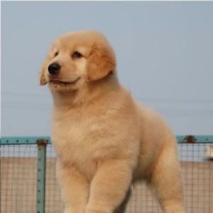 出售纯种金毛幼犬双血统金毛宝寻回犬黄金猎犬活体家庭宠物狗狗