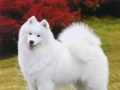 宠物寄养萨摩耶犬一只