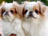 畢節專業犬舍出售約克夏 約克夏幼犬