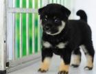 哪里卖黑色小柴犬 青岛黑色柴犬多钱一只 纯种日系柴犬出售
