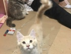 家养缅因猫,还有4只小猫