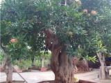 盆栽石榴树批发,盆栽石榴树供应