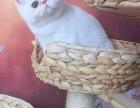重庆加菲猫 活体宠物猫 眼鼻一线贼溜溜的可爱性格超软