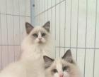 【喵大仙】出售各类猫咪幼崽 健康保障 价钱公道