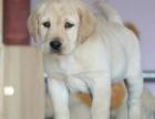 纯种拉布拉幼犬狗狗 上门选购 价格可议