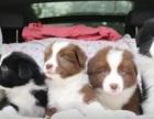 西安狗狗之家长期出售高品质 边境 售后无忧