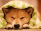 正规犬舍出售日系纯种柴犬幼犬微笑小柴保证纯种健康