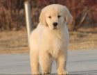 上海纯种健康金毛犬幼犬寻回犬金毛黄金猎犬 包健康