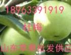 山东藤木辽伏苹果批发价格