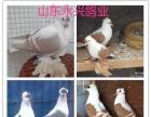 惠州白羽王银羽王落地王红卡奴观赏鸽元宝鸽养殖场