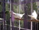十姐妹白红眼菊花头平头及野十二代各种菊花头及普通花色鸟珍珠鸟