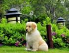 纯种金毛幼犬 毛色华丽一气质高雅一常年销售