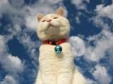 蕪湖純正英短優質品種,大包子臉藍貓出售,疫苗已經做完