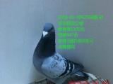 出售天落鸟 指定鸽 名家鸽 成绩鸽