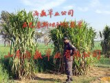 巨菌草种子,巨菌草种苗,巨菌草树苗