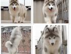 精品阿拉斯加幼犬出售年初特价 支持全国飞 签协议