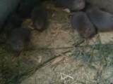 供应竹鼠种苗