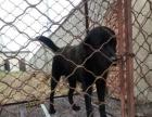 拉布拉多犬低价出售