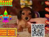 出售精品腊肠幼犬 健康纯种 迷你型腊肠 宝宝