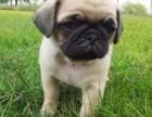 郑州本地犬舍出售纯种 巴哥幼犬 同城可送货 保存活
