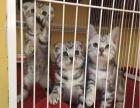 家养虎斑幼猫一窝 公母都有可挑选 疫苗驱虫都做