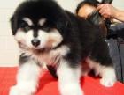 犬舍直销阿拉斯加幼犬 纯种健康能养活 支持视屏对接