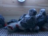 出售灰鸚鵡 金剛鸚鵡 葵花鸚鵡 亞馬遜鸚鵡 大緋胸鸚鵡