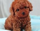 北京 出售 纯种泰迪 包犬瘟细小包健康 三个月有问题包退换
