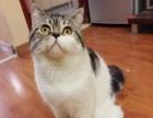 折耳猫2500元 美国短毛猫