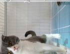 一岁蓝白八字公猫