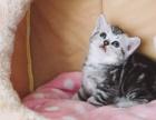 家庭繁育 高品质苏格兰折耳猫 起司猫 银虎斑加白 带证书