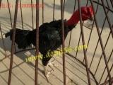 凭祥越南纯种斗鸡养殖场