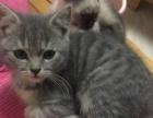 美短3只1只暹罗猫自己养的1000以上