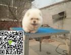 凉山犬舍长期出售-纯种松狮犬 各类世界名犬 终身包纯种